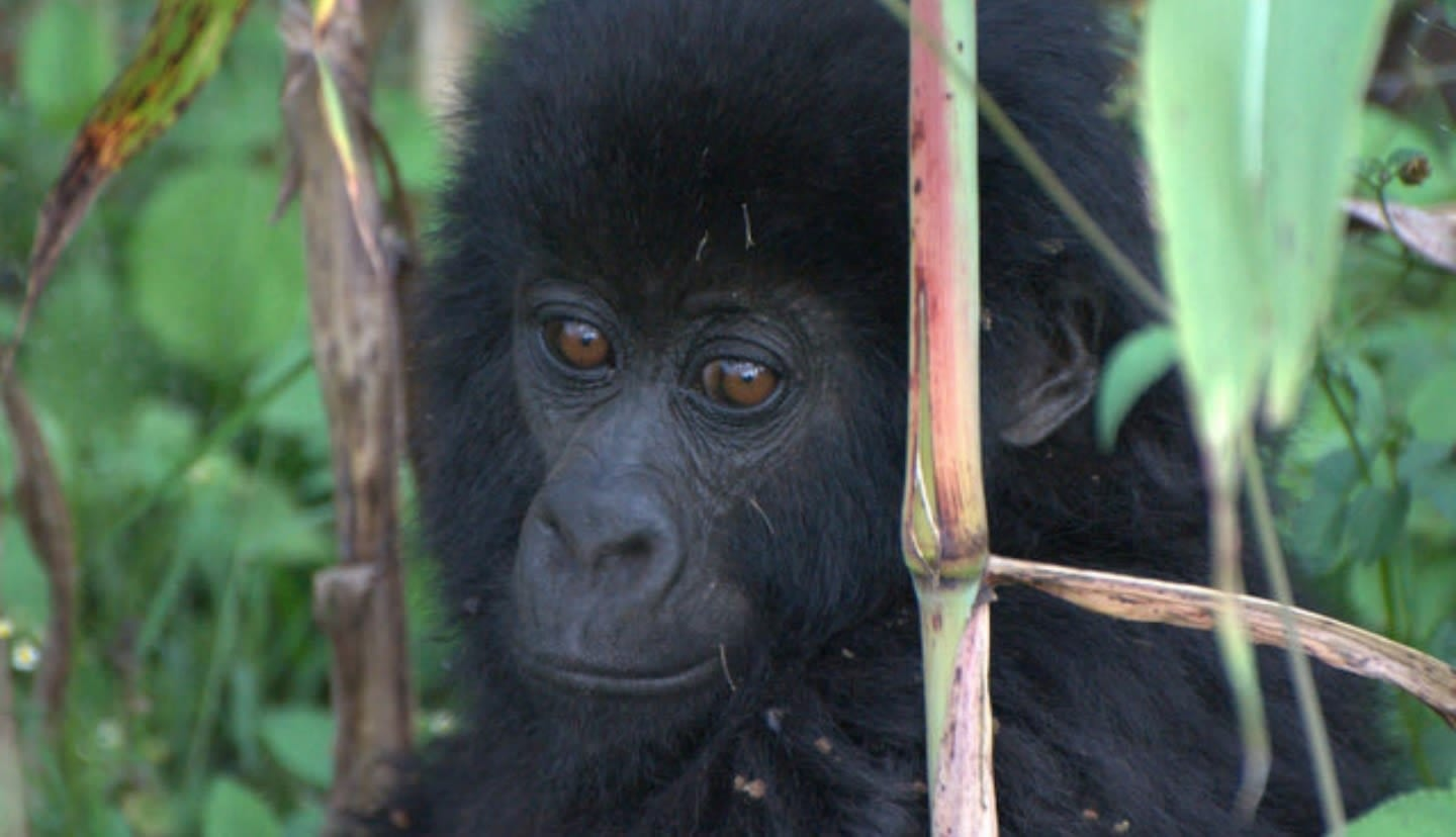 Gorilla Orphanage | Virunga National Park