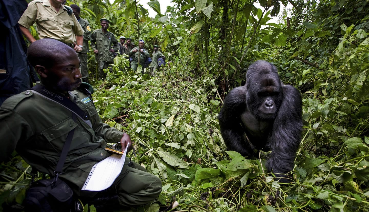 Monitoring gorillas at Virunga National Park
