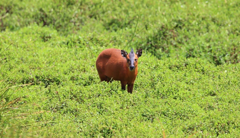 Céphalophe du Rwenzori