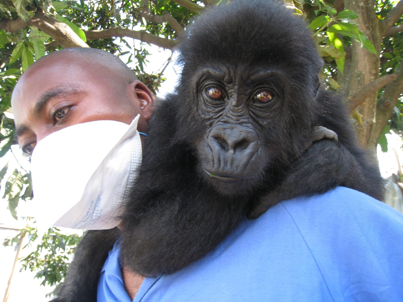 GorillaOrphans-BackFromBrink