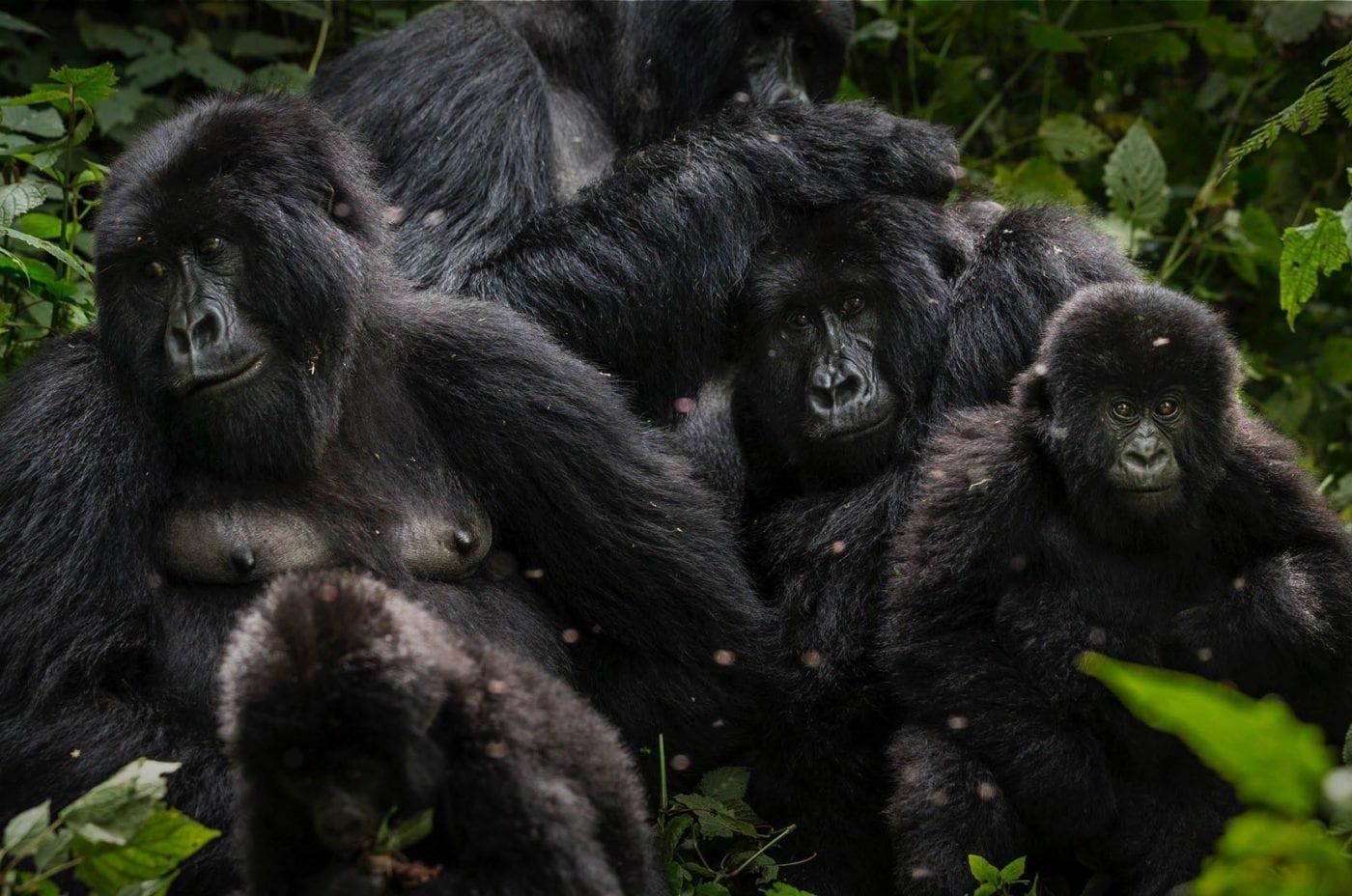 Photo of mountain gorilla family taken by Brent Stirton