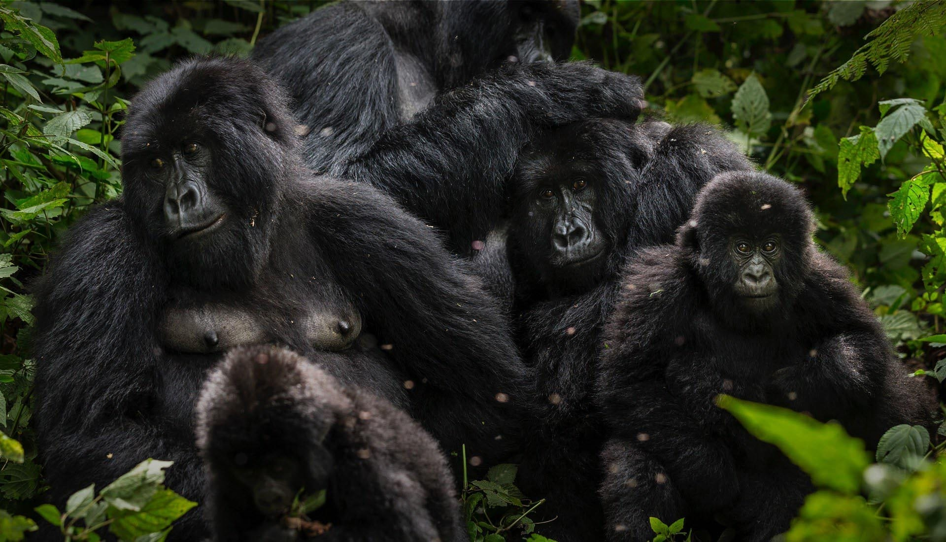 Photo of mountain gorilla family taken by Brent Stirton