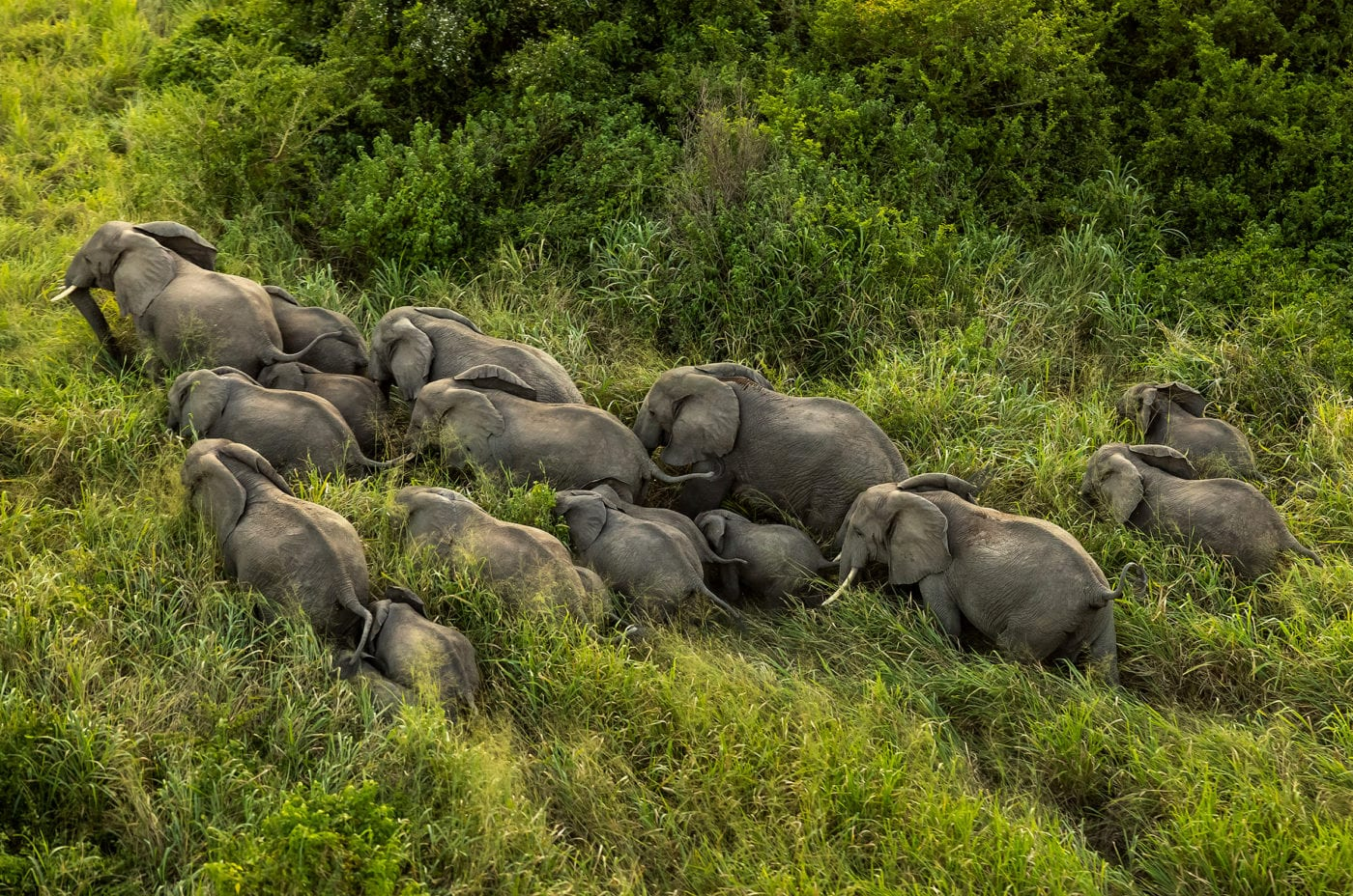 Aerial view of elephant herd, Brent Stirton